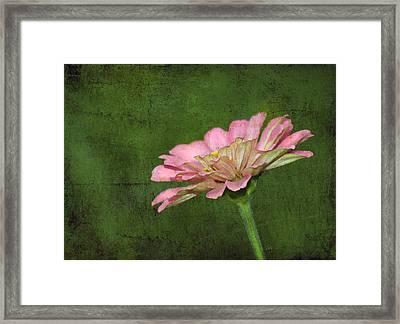 Framed Print featuring the photograph Gerber Daisy by Sami Martin