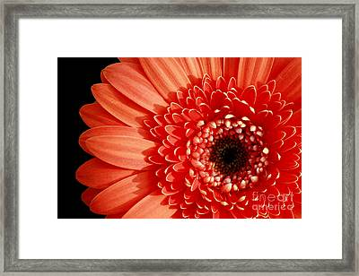Gerber Perfection Framed Print by Inspired Nature Photography Fine Art Photography