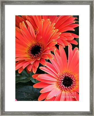 Gerbera Bliss Framed Print by Rory Sagner