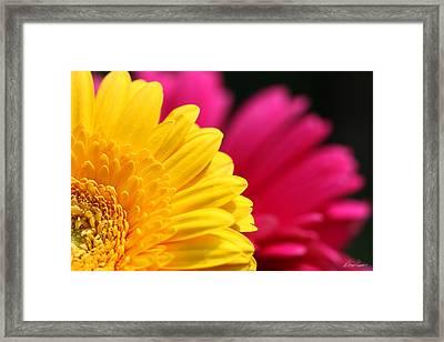 Gerbera Daisies Framed Print