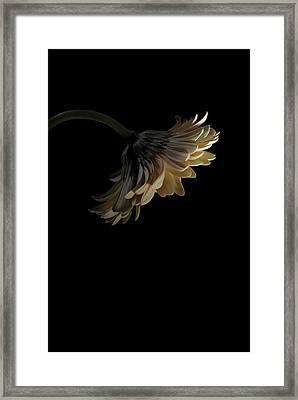 Gerbera Daisy Framed Print by Nathaniel Kolby