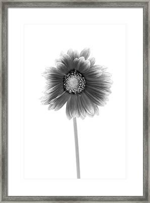 Gerbera In Black And White Framed Print