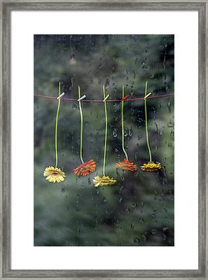 Gerbera In Rain Framed Print