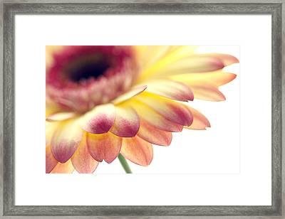Gerbera Framed Print by Rebecca Cozart