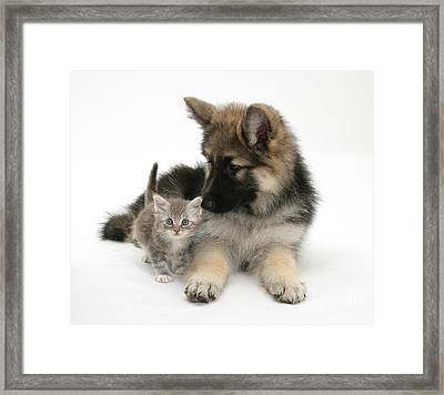 German Shepherd Dog Pup With A Tabby Framed Print by Mark Taylor