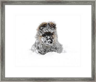 German Shepherd In The Snow Framed Print by Gualtiero Boffi