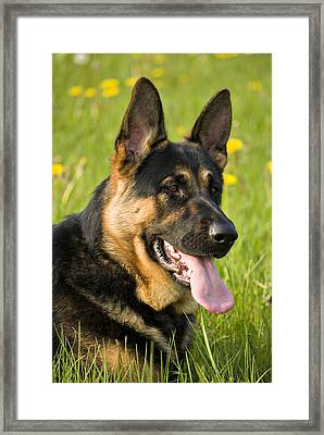 German Shepherd Framed Print by Meirion Matthias