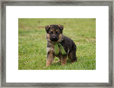 German Shepherd Puppy In Grass Framed Print by Sandy Keeton