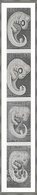 Germs Or Embryos Of Four Vertebrates Framed Print