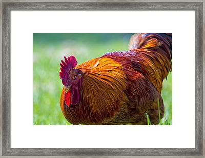 Gettin Clucky With It 6 Framed Print by Bill Tiepelman