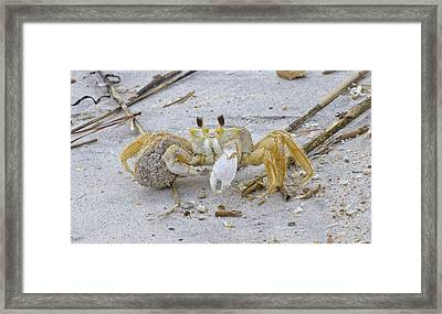 Ghost Crab Framed Print by Betsy Knapp