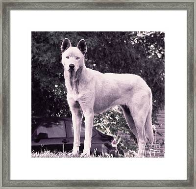Ghost The Wolf Framed Print by Maria Urso
