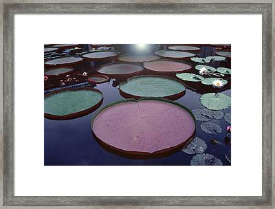Giant Amazon Lily Pads Framed Print