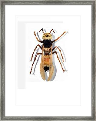 Giant Asian Hornet Framed Print by Inger Hutton