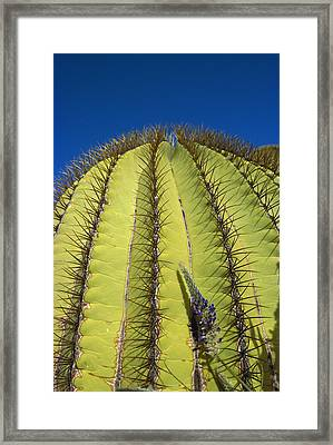 Giant Barrel Cactus Ferocactus Diguetii Framed Print by Tui De Roy