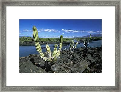 Giant Candelabra Cactus Jasminocereus Framed Print by Winfried Wisniewski