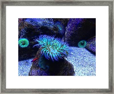 Giant Green Sea Anemone Framed Print by Mariola Bitner