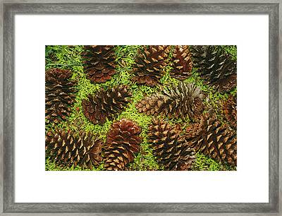 Giant Longleaf Pine Cones Framed Print by Raymond Gehman