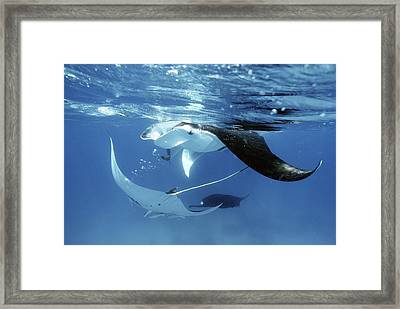 Giant Manta Rays Framed Print by Georgette Douwma