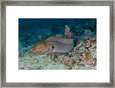 Giant Moray Eel Swimming Framed Print by Mathieu Meur