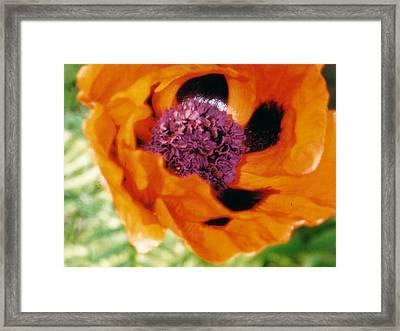 Giant Orange Poppy Framed Print