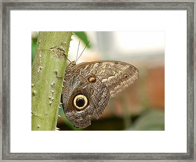 Framed Print featuring the photograph Giant Owl Butterfly by Lynn Bolt