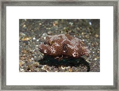 Giant Pufferfish Framed Print