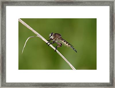 Framed Print featuring the photograph Giant Robber Fly - Promachus Hinei by Daniel Reed