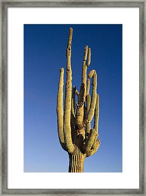 Giant Saguaro Cactus Portrait With Blue Sky Framed Print by James BO  Insogna