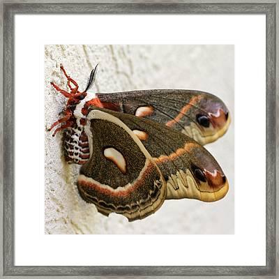 Giant Silkworm Moth 063 Framed Print