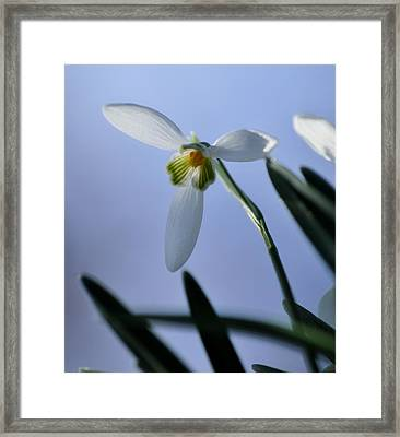 Giant Snowdrop Framed Print
