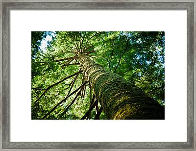 Giant Spruce Tree Canopy Framed Print by Christopher Kimmel
