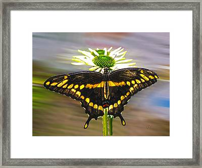 Giant Swallowtail 2 Framed Print
