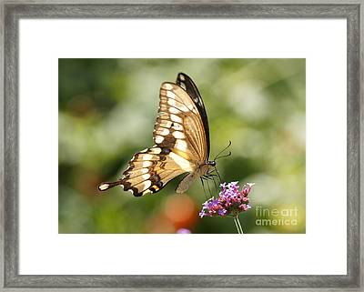 Giant Swallowtail Butterfly Framed Print by Robert E Alter Reflections of Infinity