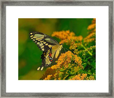 Giant Swallowtail On Goldenrod Framed Print by Tony Beck