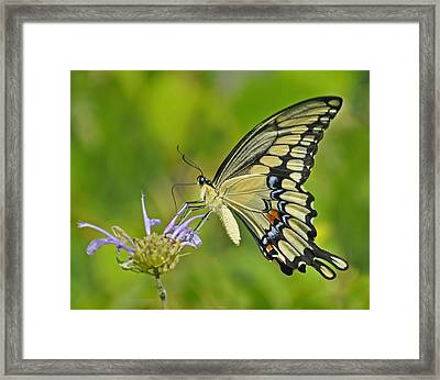Giant Swallowtail Framed Print by Rodney Campbell