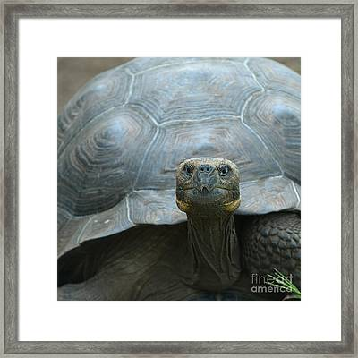 Giant Turtle Galapagos Islands Ecuador Framed Print
