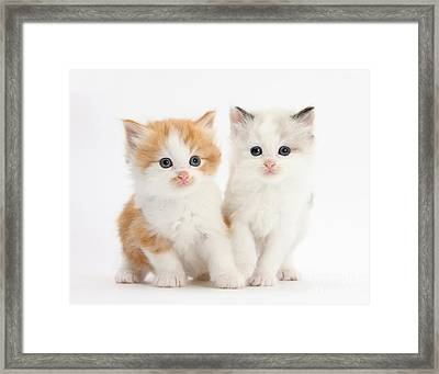 Ginger And Colorpoint Kittens Framed Print