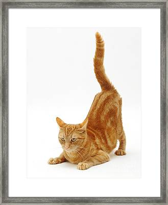 Ginger Cat Framed Print by Jane Burton