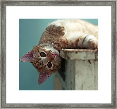 Ginger Cat Leaning Over Table Looking At Camera Framed Print by By Julie Mcinnes