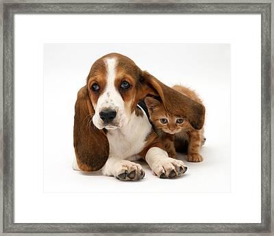 Ginger Kitten And Basset Puppy Framed Print by Jane Burton