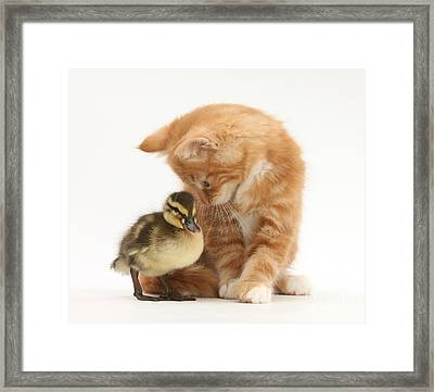 Ginger Kitten And Mallard Duckling Framed Print