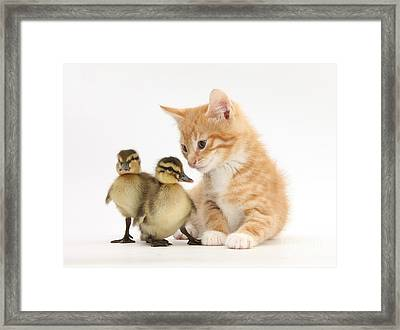 Ginger Kitten And Mallard Ducklings Framed Print