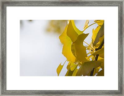 Framed Print featuring the photograph Ginko 1 by Lisa Missenda