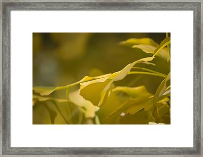 Framed Print featuring the photograph Ginko 2 by Lisa Missenda