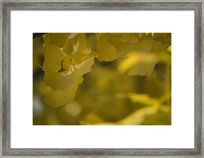 Framed Print featuring the photograph Ginko 3 by Lisa Missenda