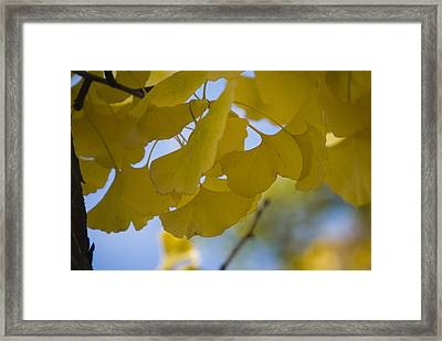 Framed Print featuring the photograph Ginko 5 by Lisa Missenda
