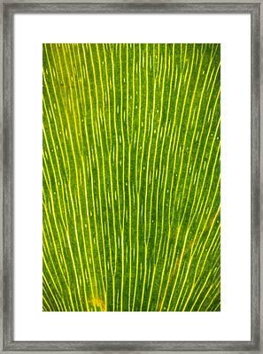 Ginko Tree Leaf Framed Print by Steve Gadomski
