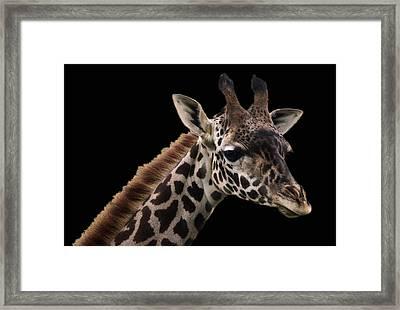 Giraffe-1 Framed Print