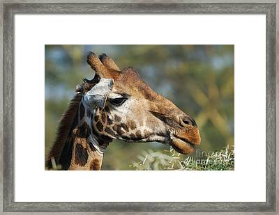 Giraffe Framed Print by Alan Clifford